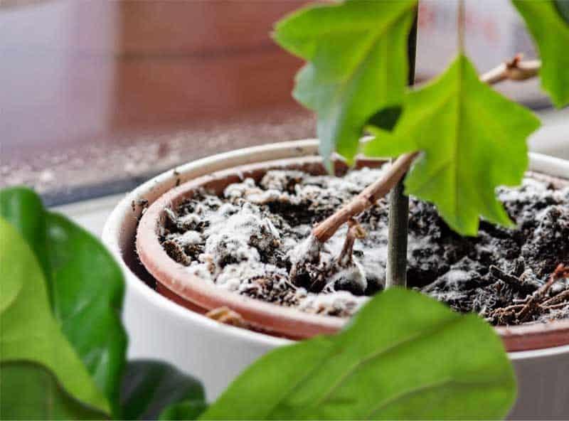 Ist das weiße Zeug, das in Ihren Topfpflanzen wächst, gefährlich für den Menschen