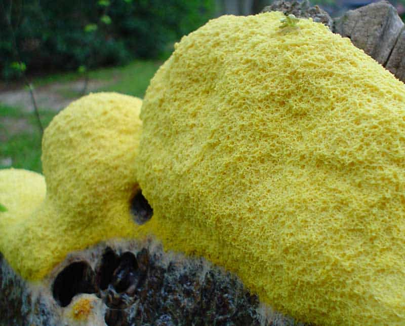 Was ist gelber Schleimpilz
