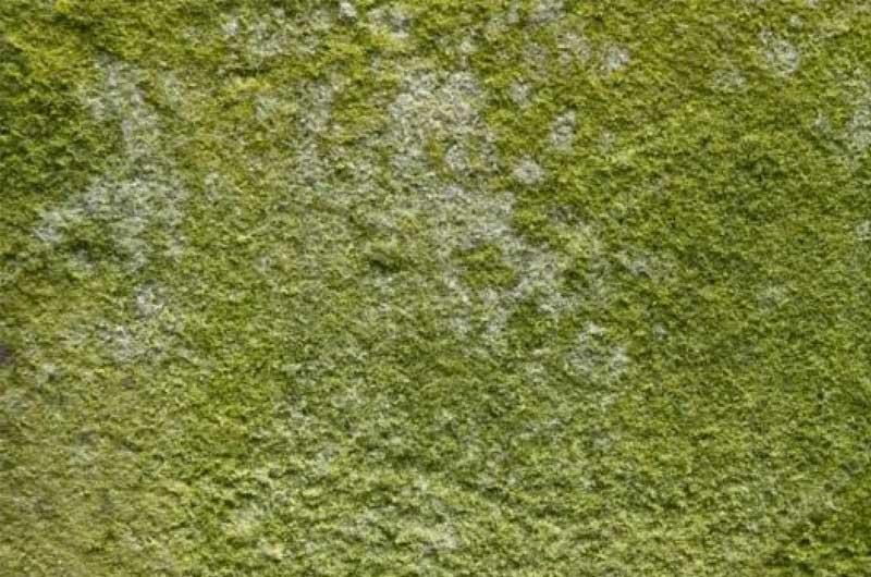 Was ist grüner schimmel