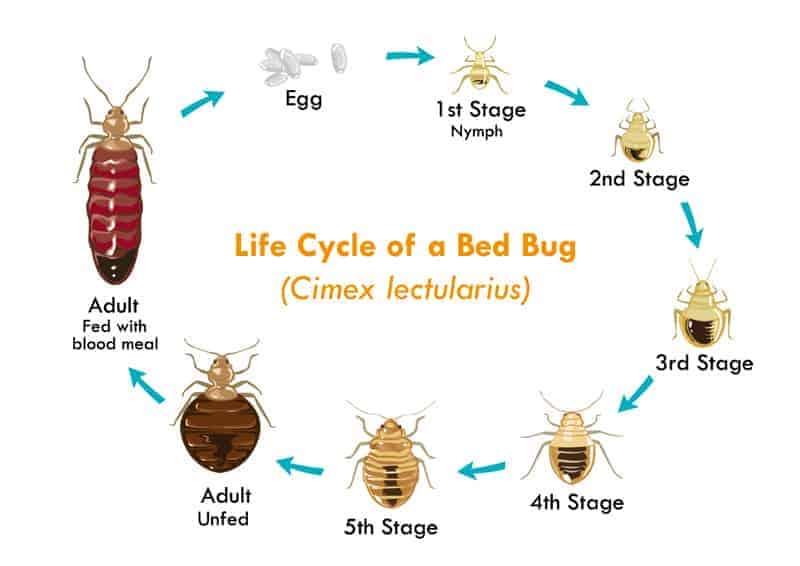 21 Bild des Lebenszyklus von Bettwanzen