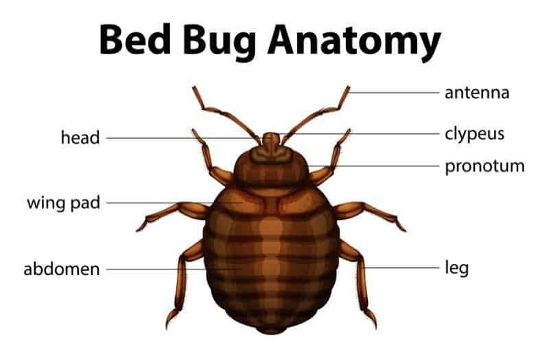 Bild der Bettwanzenanatomie